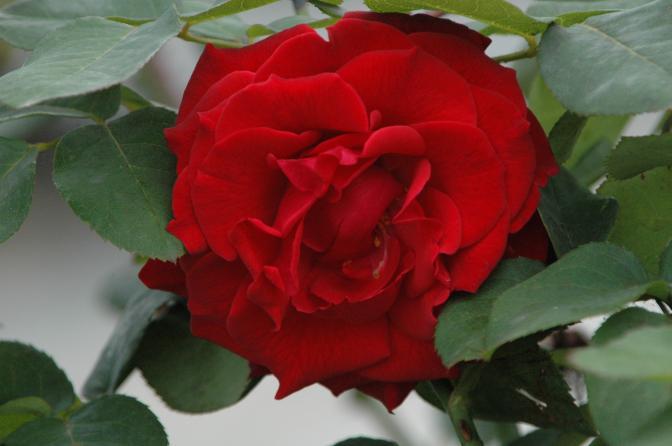 Rosa teen 3 de noviembre