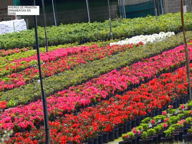 Viveros de plantas ornamentales en goi n goian pontevedra for Viveros plantas ornamentales colombia