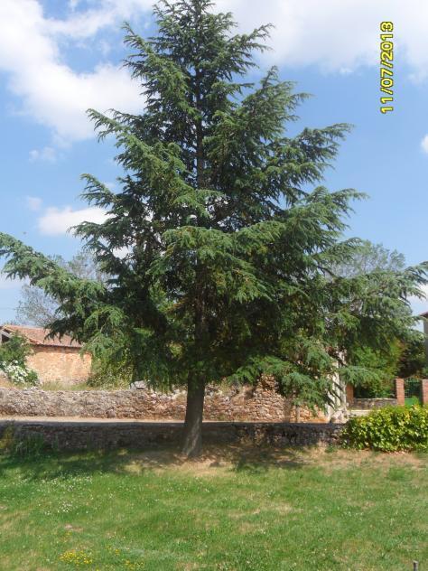 Rbol cipr s junto a la tapia del jard n iglesia cantoral for Jardin cipres