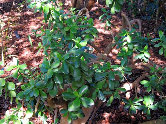 Crasul ceas arbol de jade jard n bot nico san fernando for Arboles nativos de colombia jardin botanico
