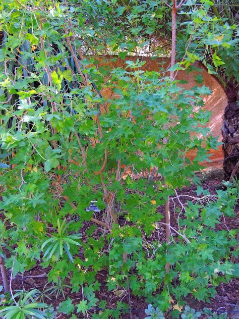Palo de sangre jard n bot nico san fernando for Guarderia el jardin san fernando