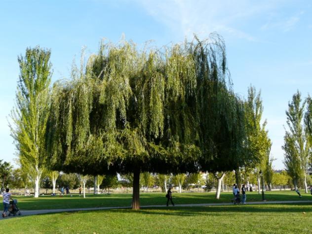 Sauce en el parc de les morisques sant quirze del valles - El tiempo en sant quirze ...
