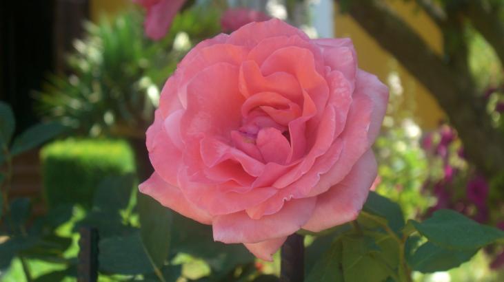 Como una rosa vega de riacos - Como secar una rosa ...