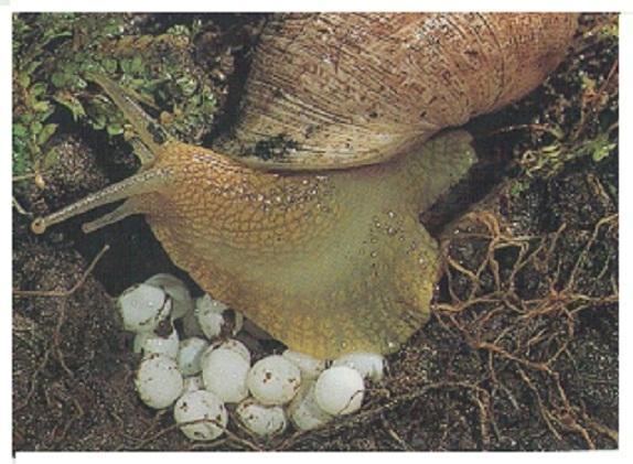 Reproducción del Caracol, BURGOS