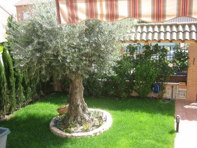Olivo en el jard n pedrezuela for Un jardin con enanitos