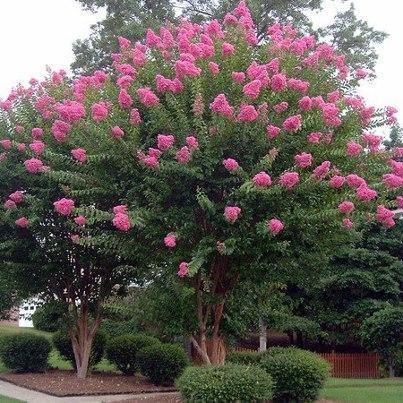 Bonito rbol de flores de mi jard n hinojal c ceres - Arboles bonitos para jardin ...