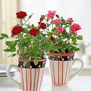 Dos rosales en las macetas oyon - Rosales en macetas ...